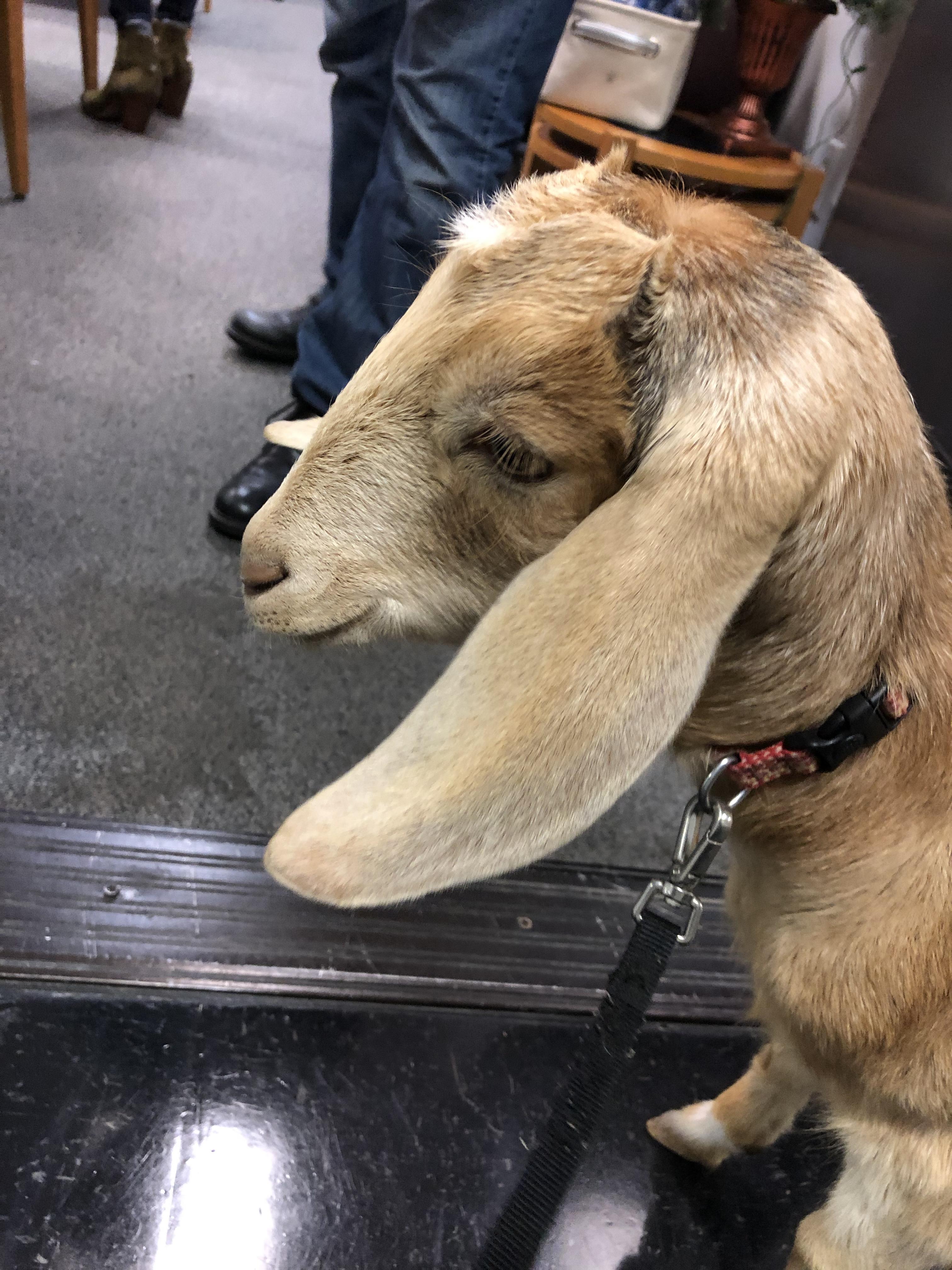 Millie the Goat!